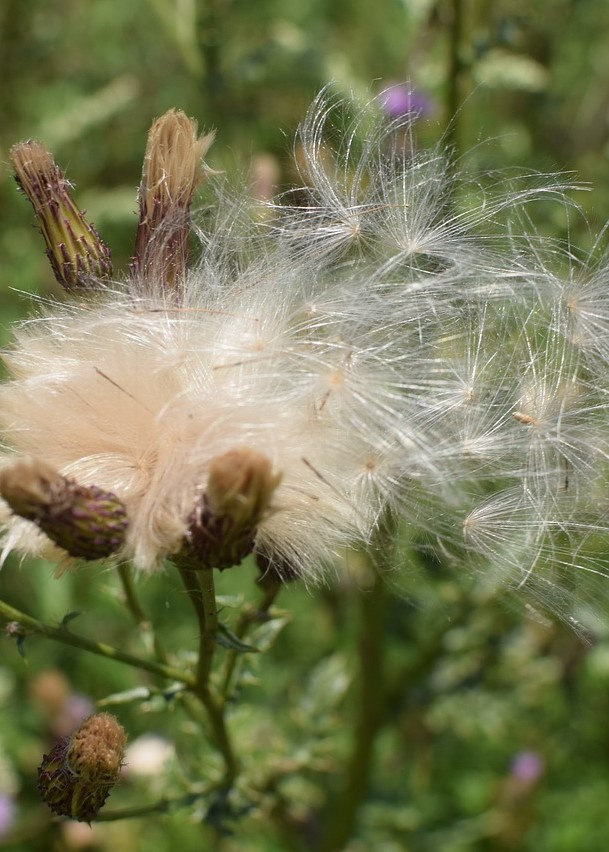 thistle-seeds